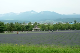 Enlarge the picture of a lavender farm